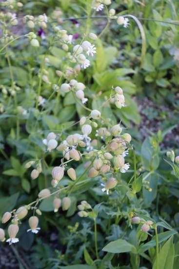 AKO Garden viherkattokasvillisuus nurmikohokki.JPG