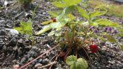 Ahomansikka on kaunis hyötykasvi, jonka sadosta voi nauttia jopa viherkatolla.